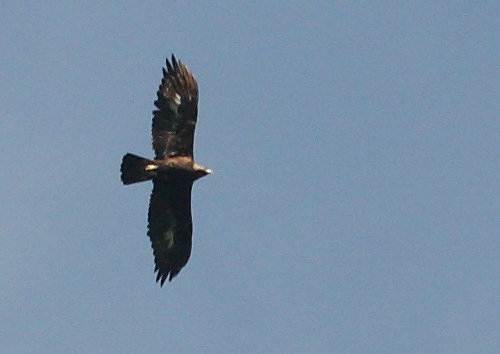 Golden eagle (Aquila chrysaetos), Military training area Libavá, 2013