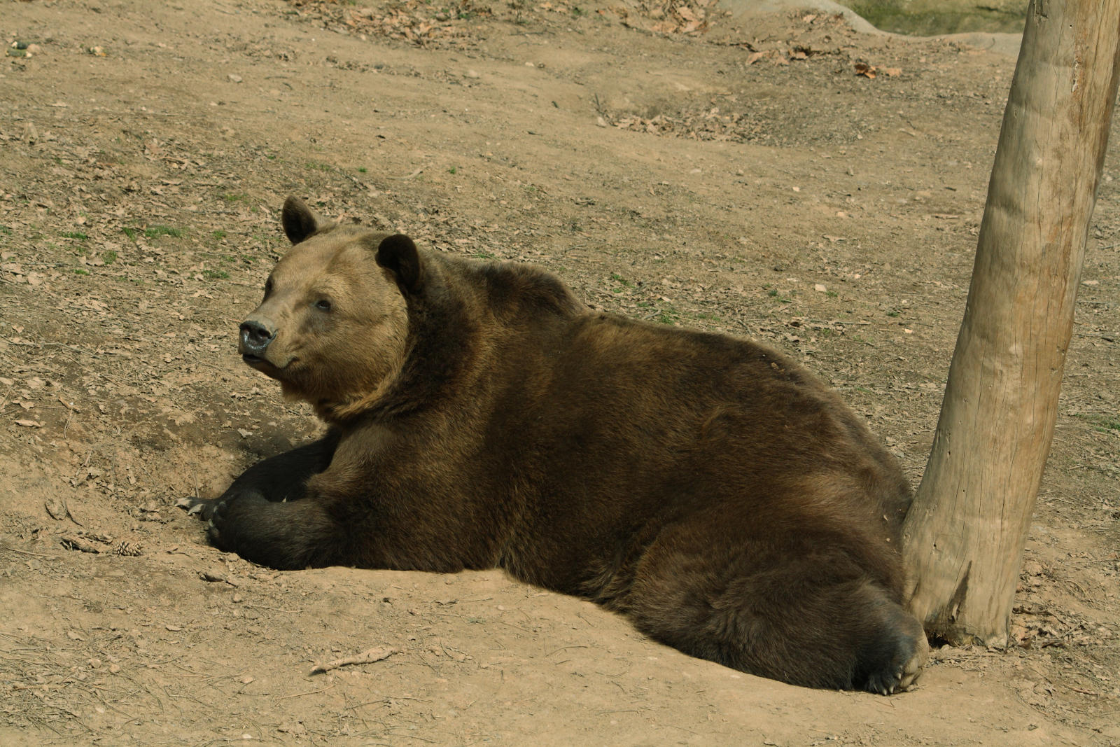 Eurasian brown bear - Ursus arctos arctos