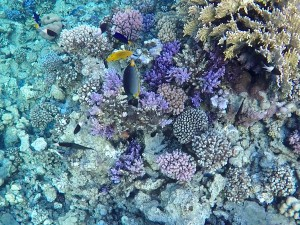 Coral reef in Abu Dabbab bay, year 2015