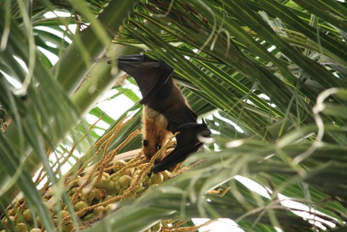Indian Flying Fox (Pteropus giganteus) feeding on palm fruits, Embudu island, Maldives
