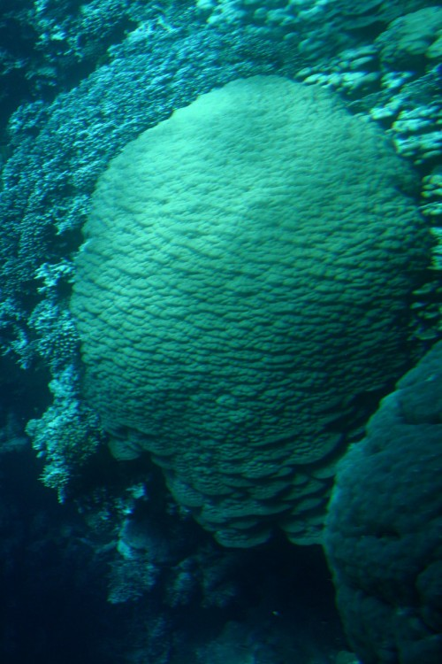 Huge Dome of Mountain Coral - Porites lutea, coral reefs near the bay Marsa Mubarak, Red Sea, Egypt