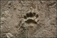 No, it isn't a bear. This is an imprint of Meles meles frozen in mud.