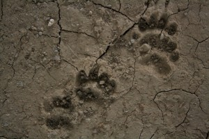 Footprint of European badger (Meles meles)