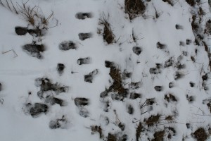 Tracks of roe deer
