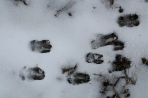 Footprints of roe deer