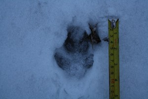 A footprint of raccoon dog (Nyctereutes procyonoides)