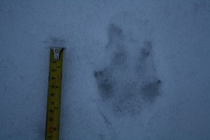 Another footprint of raccoon dog (Nyctereutes procyonoides)