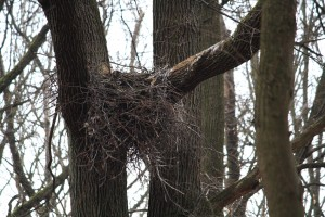 Black stork's nest, state of March 29th, 2020 - The nest is built in a fork of oak branches