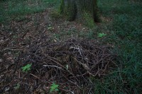 Remains of a nest that has fallen to the ground - a pile of sticks with moss