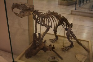 Skeleton of eurasian beaver (Castor fiber), exposition Anthropos