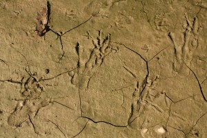 Footprints of eurasian beaver (Castor fiber)