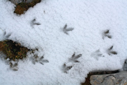 Tracks of rock ptarmigan (Lagopus mutus), Slovenia 2013
