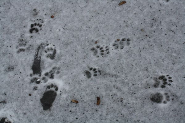 Footprints of European badger (Meles meles), there are also footprints of red fox (Vulpes vulpes) in the upper right part of the picture