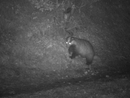 European badger (Meles meles) is nocturnal species - Lysá mountain, PLA Beskydy