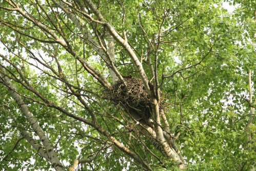 Nest of black kite (Milvus migrans). Visible end of the tail indicates that the female is just sitting on the nest.