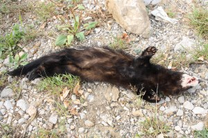 European polecat (Mustela putorius) killed by a car, Italy