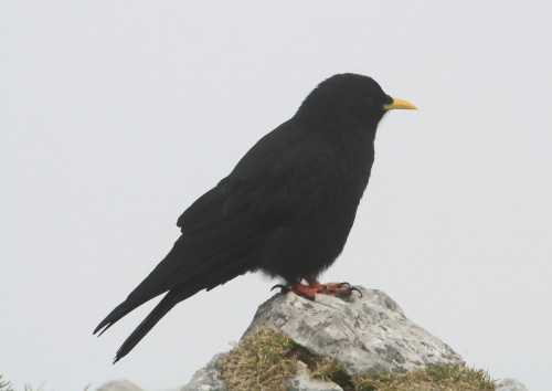 Yellow-billed Chough (Pyrrhocorax graculus), bird of the FOREST 2010