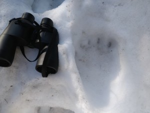 Footprint of brown bear (Ursus arctors), The Maple Mountains 2021