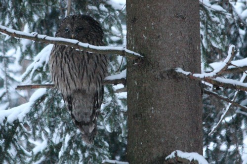 Ural owl (Strix uralensis), some forgotten valley in the Beskydy PLA, 25th January 2014