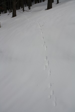 Red fox (Vulpes vulpes) track Fox shifted from an overstep walk (in the foreground) to a direct register walk (in the background)
