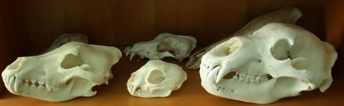 Big predator skull's replicas (front line only) - wolf, lynx and grizzly