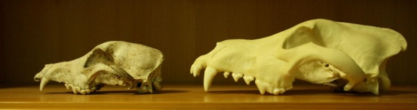 Comparison of size and shape between the dog skull (left) and the wolf skull (right)