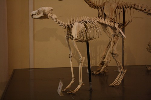 Kostra vlka (Canis lupus), Museo Civico di Zoologia, Řím
