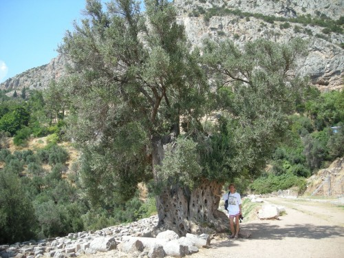 Werewolf from the Spruce touching an ancient olive tree in the famous oracle of Delphi in the Parnassus mountains